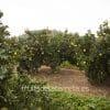 maduracion de las naranjas ecologicas