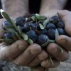 recolectar olivas ecológicas