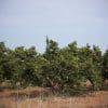 cosecha de naranjas