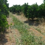 naranjos en permacultura