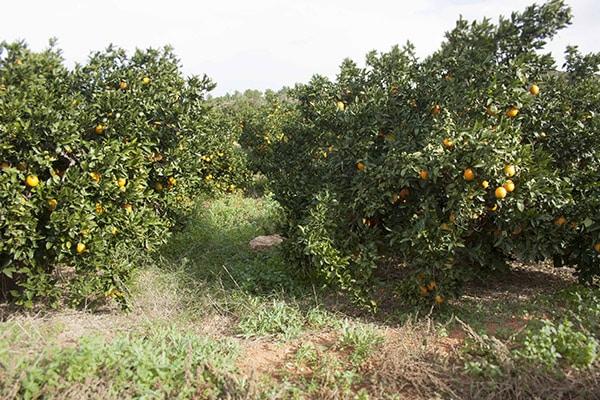cultivar naranjas